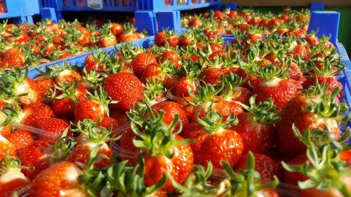Leckere Erdbeeren direkt vom Feld.